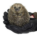 Holding a hedgehog rolled up with black leather gloves studio shot in white back Stock Photo