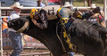 Holding on for life a bull rider holds tightly to the bull he s riding the rodeo in cottonwood california is a popular event Royalty Free Stock Image