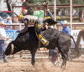 Holding on for life a bull rider holds tightly to the bull he s riding the rodeo in cottonwood california is a popular event Royalty Free Stock Photography