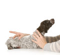 Holding puppy womans hands german shortaired pointer isolated on white background weeks old Stock Images
