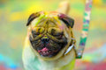 Holi painted pug kind of smiling on festival Stock Photos