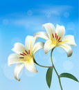 Holiday background with two lilies white vector Royalty Free Stock Photography