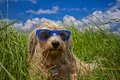 Holiday dog a wet is completely relaxed with a blue sunglasses in a meadow in the background a beautiful blue sky with a few Royalty Free Stock Photo
