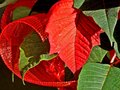 Holiday poinsettia with ribbon vibrant christmas red Royalty Free Stock Photography