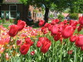 Holland Tulip Festival in May 4 Royalty Free Stock Photos