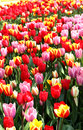 Holland tulip fields beautiful vivid Royalty Free Stock Photos