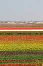 Holland tulip fields beautiful vivid Royalty Free Stock Image