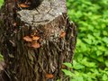 Hollow stump with colorful mushrooms growing on it, surrounded by lush vegetation on forest floor Royalty Free Stock Photo