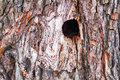 Hollow tree a small for a little squirrel Stock Image