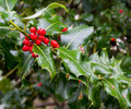Holly berries Stock Image