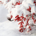 Holly berries bush covered with snow christmas outside winter sunny day Royalty Free Stock Photography