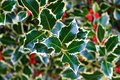 Holly and berries Royalty Free Stock Photo