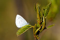 Holly Blue Royalty Free Stock Image