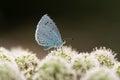 Holly blue & x28;Celastrina argiolus& x29; nectaring on hogweed