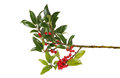 Holly bough a with ripe red berries isolated against white Royalty Free Stock Images