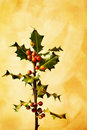 Holly branch with berries Stock Image