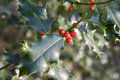 Holly Bush Royalty Free Stock Photography