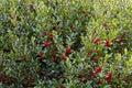 Holly bush Stock Photos