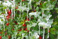 Holly bush iced over green with red berries and frozen icicles dripping off from a winter storm in texas Royalty Free Stock Photo