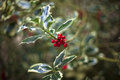 Holly close up of in the woods Royalty Free Stock Photography