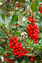 Holly closeup Royalty Free Stock Photography