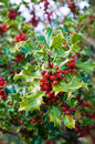 Holly european ilex aquifolium leaves and fruits Royalty Free Stock Photos