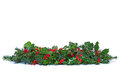 Holly and ivy christmas garland isolated a traditional made from fresh with red berries green leaves sprigs of conifer spruce on a Stock Photos