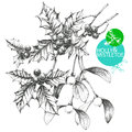 Holly and mistletoe hand drawn clip art illustration of famous christmas plants Royalty Free Stock Photos