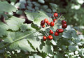 Holly this is a plant Royalty Free Stock Photos