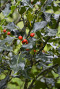 Holly plant llex aquifolium Stock Image