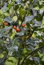 Holly plant llex aquifolium Stock Image