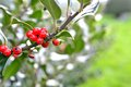 Holly plant in the park Royalty Free Stock Image