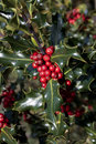 Holly plant with  red berries Royalty Free Stock Photo