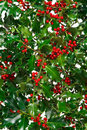 Holly with red berries background. Stock Image