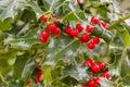 Holly shrub with berries several leaves of the ilex aquifolium plant centered around ripe red Stock Photos