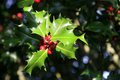Holly tree Stock Images