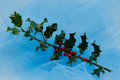 Holly tree branch with berries on blue Royalty Free Stock Image
