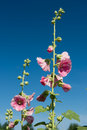 Hollyhock Stock Photography