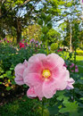 Hollyhock or alcea rosea l close up shot of pink Royalty Free Stock Photography