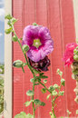 Hollyhock (Althaea) blossoms Royalty Free Stock Photo