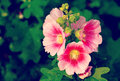 Hollyhock flower old vintage retro style with filter effect Stock Photos