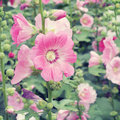 Hollyhock flower old vintage retro style with filter effect Stock Photo
