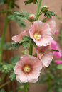 Hollyhocks Royalty Free Stock Photos