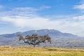 Holm Oak And Landscape