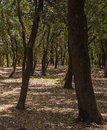 Holm Oak tree forest Royalty Free Stock Photo