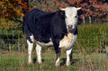Holstein bull in paddock full body looks at the camera outdoor Royalty Free Stock Photography