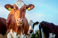 Holstein cow Royalty Free Stock Photo
