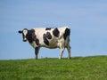 Holstein cow on ridge Royalty Free Stock Photo