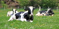 Holstein cows having rest Royalty Free Stock Photo