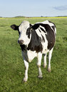 Holstein dairy cow Royalty Free Stock Photo